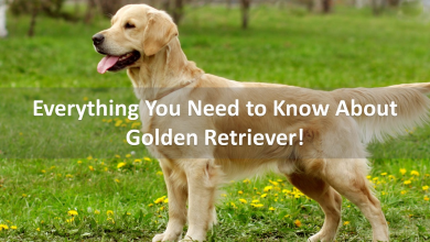 Photo of Everything You Need to Know About Golden Retriever!