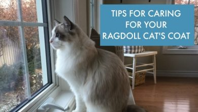 Photo of How Do You Take Care Of Your Ragdoll Cats?