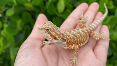 Photo of Top 3 Pet Lizards 2021